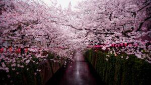 Japan cherry blossom
